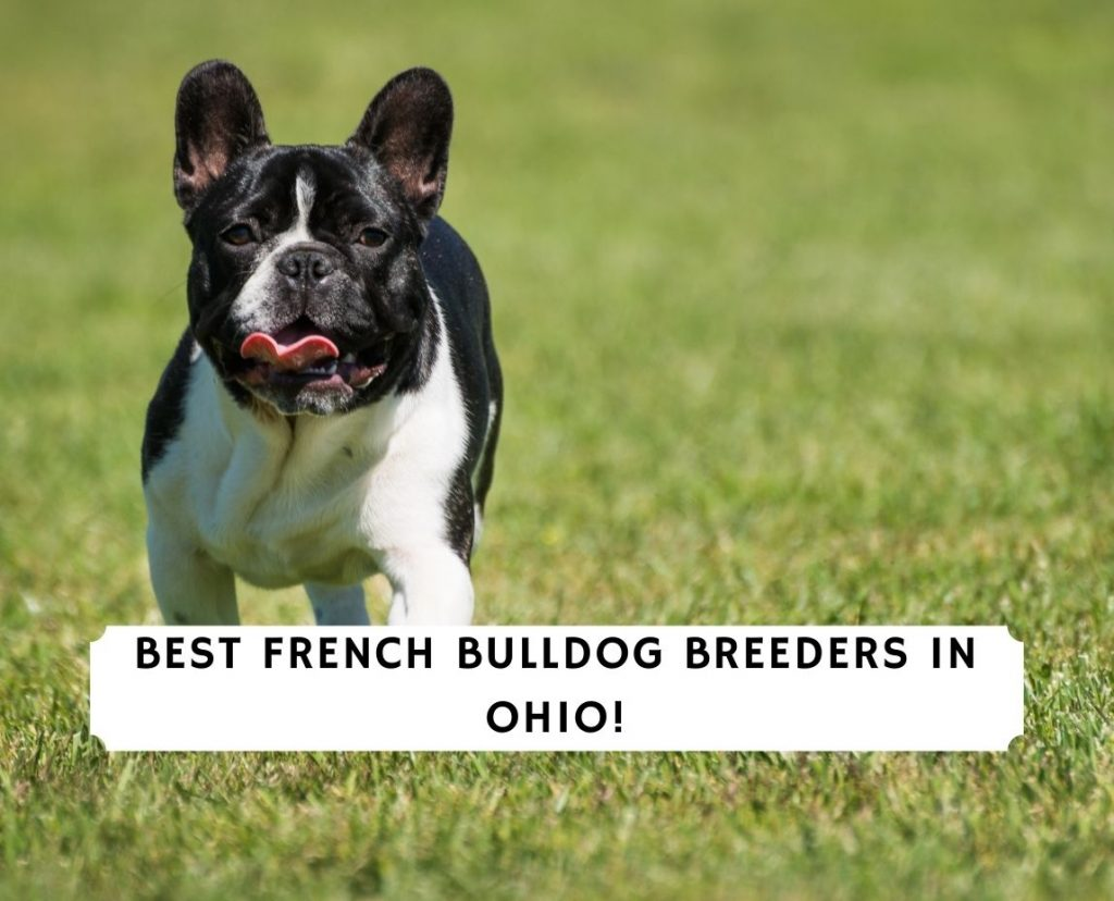 French Bulldog Breeders in Ohio