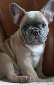 French Bulldogs Ohio