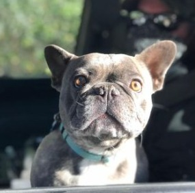 French Bulldog Health