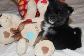 FulbrightPomeranian Puppies