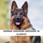 German Shepherd Breeders in Illinois