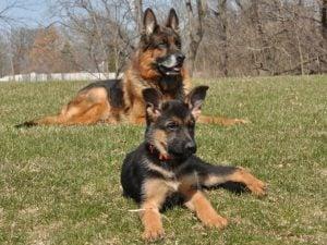 German Shepherd puppies in Illinois