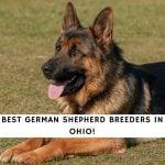 German Shepherd Breeders in Ohio