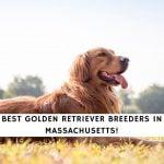 Golden Retriever Breeders in Massachusetts