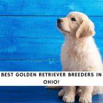 Golden Retriever Breeders in Ohio