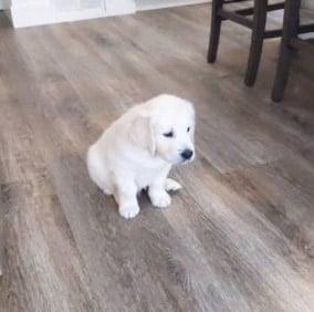 Golden Retriever Puppies For Sale in Massachusetts