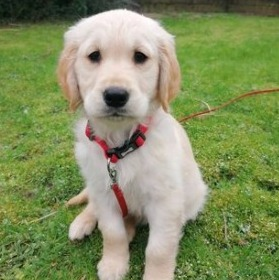 Golden Retriever Puppies For Sale in New York