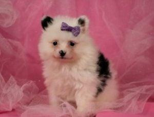 Happytail Puppies