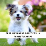 Havanese Breeders in Pennsylvania