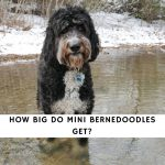How Big Do Mini Bernedoodles Get