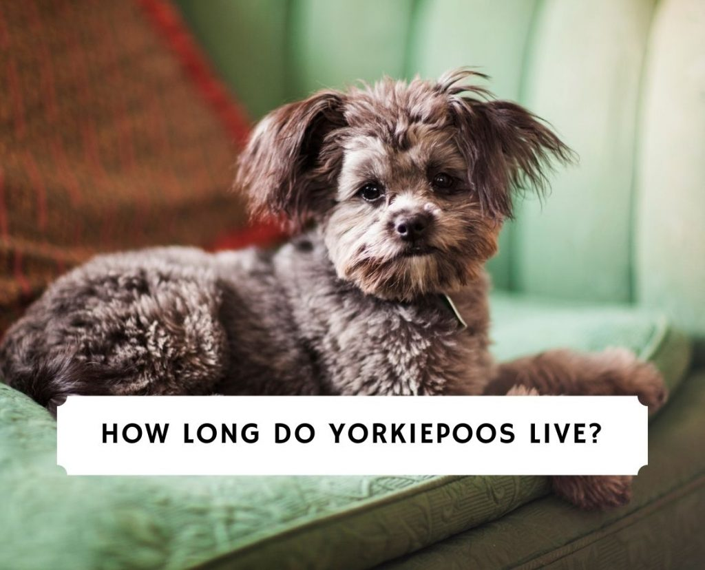 How Long Do Yorkiepoos Live