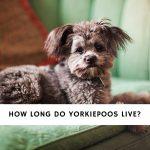 How Long Do Yorkiepoos Live