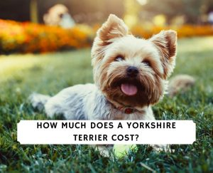 How Much Does a Yorkshire Terrier Cost