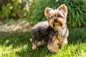 How Much Does it Cost to Adopt a Yorkshire Terrier