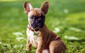 How to Choose a French Bulldog Breeder in the US