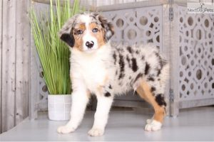 How to Take Care of Your Australian Shepherd