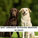 Labrador Retriever Breeders in Ohio