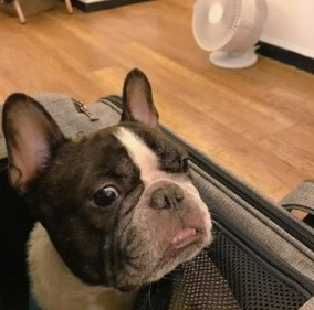 Maintenance and Grooming French Bulldog