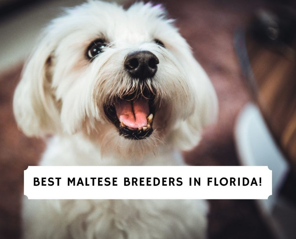 Maltese Breeders in Florida