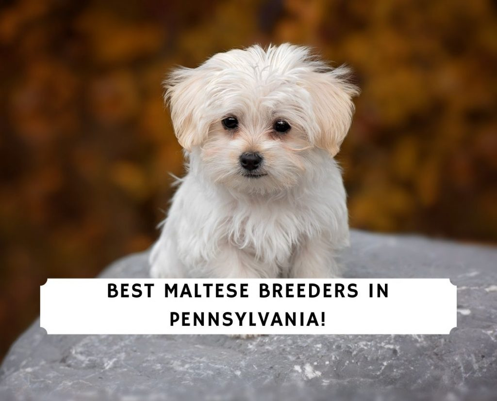 Maltese Breeders in Pennsylvania