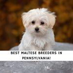 Maltese Breeders in Pennsylvania