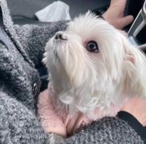 Maltese Puppies For Sale in Pennsylvania