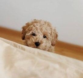 Mini Poodle Breeders in the U.S.