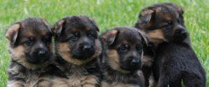 My BodyGuard Dogs