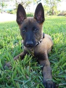 Origin Based Belgian Malinois Dog Names