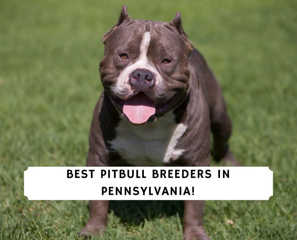 Pitbull Breeders in Pennsylvania