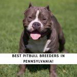 Pitbull Breeders in Pennsylvania