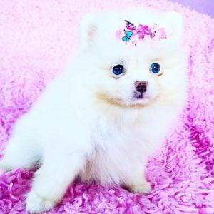 Pomarazzi Pomeranian