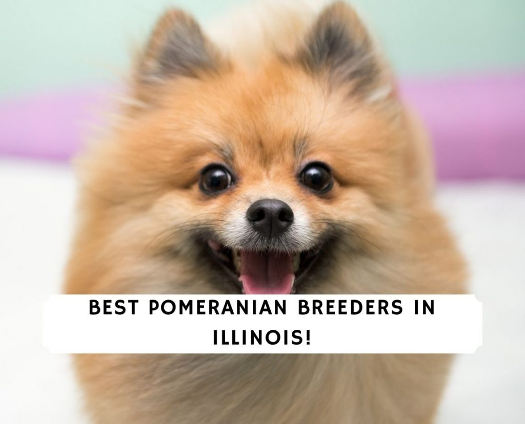 Pomeranian Breeders in Illinois