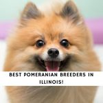 Pomeranian Breeders in Illinois