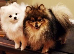 Pomeranians Illinois