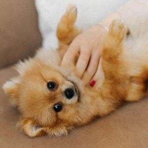 Pomeranian puppies for sale in North Carolina