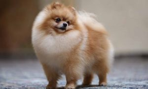 More Information About Pomeranian Puppies in North Carolina