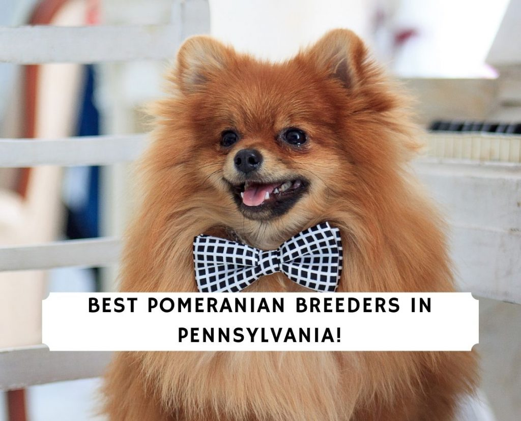 Pomeranian Breeders in Pennsylvania