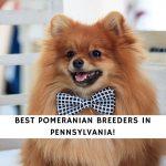 Pomeranian Breeders in Pennsylvania