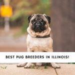 Pug Breeders in Illinois