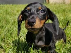 Puppyspot dachshunds ohio