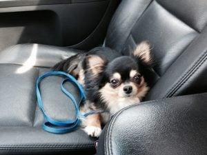 Rossmoyne Chihuahuas