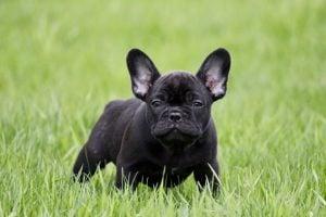 Royal Empire French Bulldogs