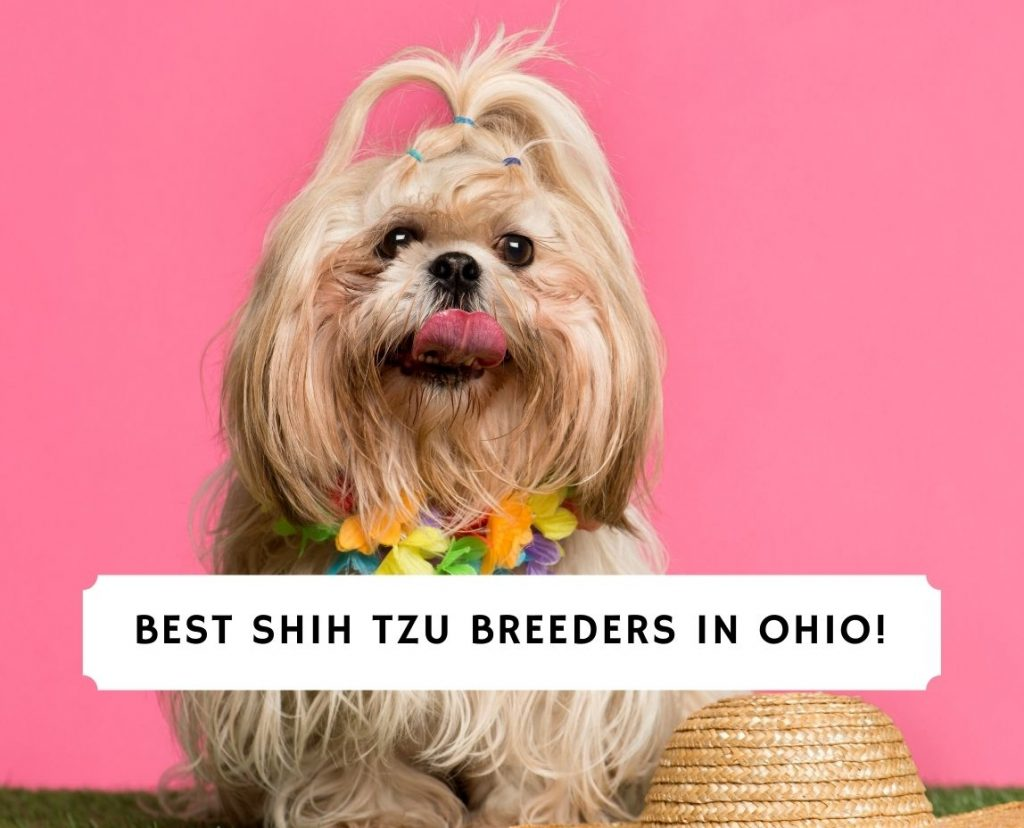 Shih Tzu Breeders in Ohio