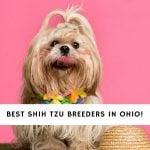 Shih Tzu Breeders in Ohio