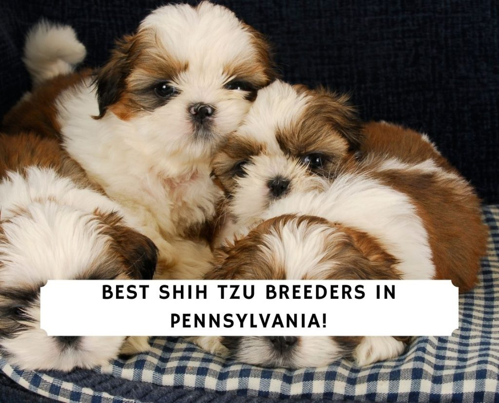 Shih Tzu Breeders in Pennsylvania