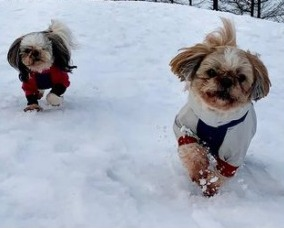 Shih Tzu Puppies For Sale in Illinois