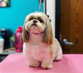 Shih Tzu Puppies For Sale in Ohio