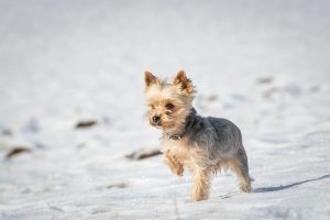 Your Yorkie is having trouble regulating its body temperature