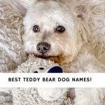 Teddy Bear Dog Names